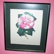 A Vintage Botanical Framed Print Lovely Wall Art Camellia Sophia