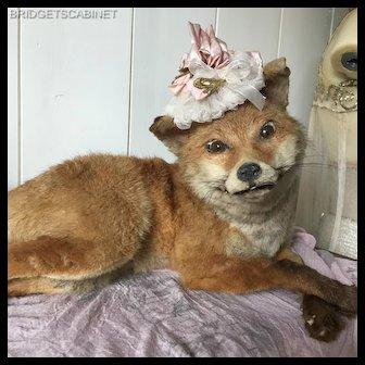 Antique Rare Pose French Taxidermy Fox