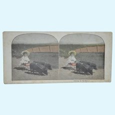 Child Driving Wagon With Pigs Stereoscope card