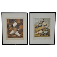 Pair of Pigeon Prints from Cassell's PIgeon Book c.1870 to 1880
