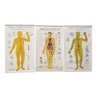 Set of Three Vintage Anatomical Diagram Charts