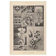 Art Nouveau Orchid Botanical Design Lithograph c1900