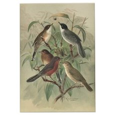 Matted c1890 Chromolithograph-Birds-by Keulemans