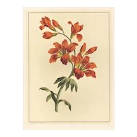 1940s French Botanical Lithograph-LILY