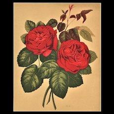c1880s Botanical Roses Lithograph Print