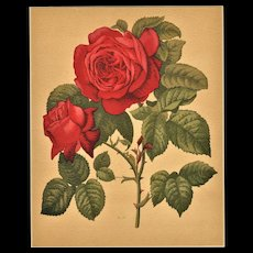 c1880s French Botanical Roses Lithograph Print