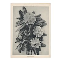 French Botanical Art Photography Print-Rhododendron