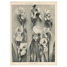 French Botanical Art Photography Print-Iris