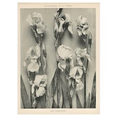 French Botanical Art Photography Print-Iris
