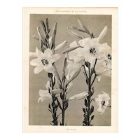 French Botanical Art Photography Print-White Lily