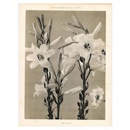 French Botanical Art Photography Print-White Lily