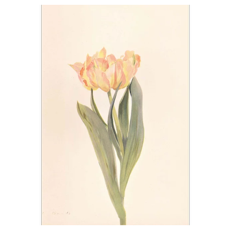 1939 French Botanical Tulip Print