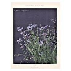1902 Botanical Chromolithograph Print-Cornflower