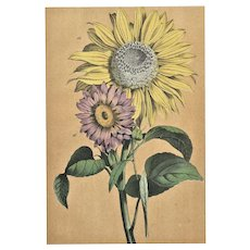 RARE Matted French Mid-1880s Botanical Chromolithograph Print Sunflowers