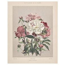Matted 1902 Botanical Chromolithograph- Peony