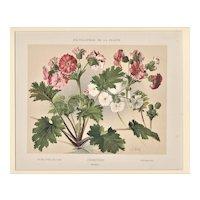 Matted 1902 Botanical Chromolithograph- Primrose