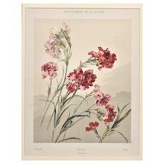 Matted 1902 Botanical Chromolithograph- Dianthus