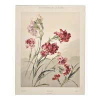 Matted 1902 Botanical Chromolithograph- Dianthus
