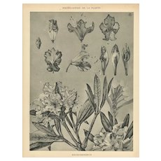 1902 Art Nouveau French Botanical-Rhododendron