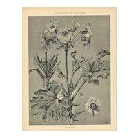 1902 French Art Nouveau Botanical-Primrose