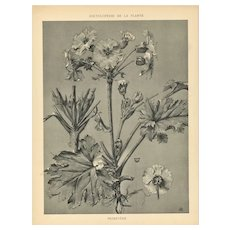 1902 French Art Nouveau Botanical-Primrose