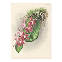 1880s Botanical Orchid Lithograph