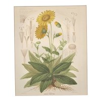 Matted c1880 French Botanical Lithograph