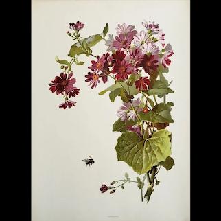 RARE 1880s Botanical Chromolithograph