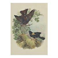 Bird Chromolithograph Print 1880s