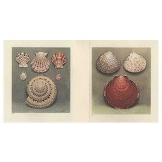 Set of 2 Vintage 1935 French  Seashell Lithographs