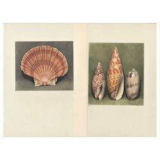 Set of 2 Vintage 1935 French  Seashell Prints