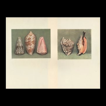 Set of 2 Vintage 1935 French  Seashell Prints