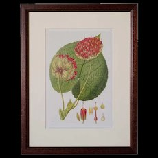 JOHN LINDLEY Hand Painted Engraving, Botanical, Collectanea Botanica