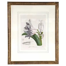 After HORTO VAN HOUTTEANO Offset Lithograph Print, Amaryllis Procera Botanical