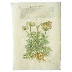 17th C Woodcut Botanical Engraving by Mattioli Visnaga Toothpickweed Xilograph