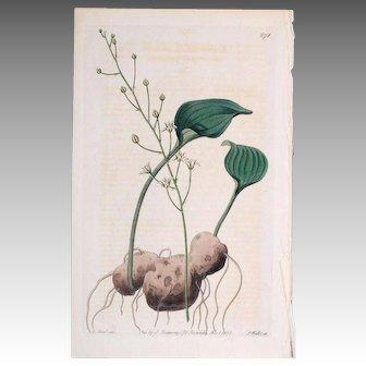 3 Original  Ridgeway Botanical Engravings #8