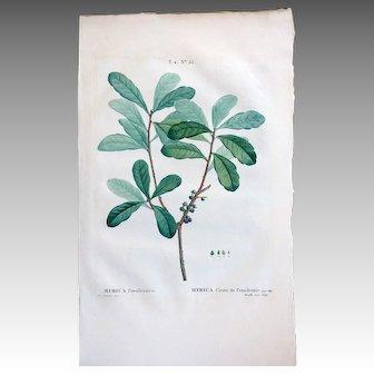 1810 Botanical Engraving DuHamel Du Monceau Redoute Myrica Cirier de Pensilvanie