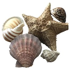 The Starfish, Seashore Collection of Large Shells