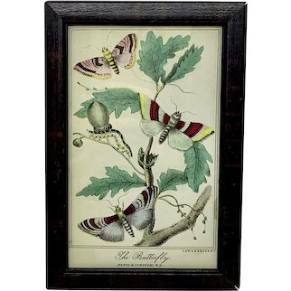 Antique framed hand colored engraving - The Butterfly
