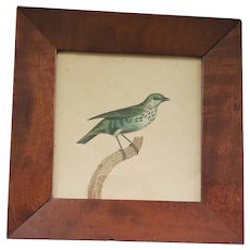 Antique 19th C.Framed Print of Young Speckled Tanager on Branch