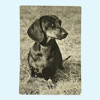 1960's Dascshund Photo Dog Postcard Erich Tylínek ( 1908 - 1991)