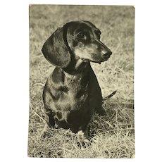 1960's Dascshund Photo Dog Postcard Erich Tylínek ( 1908 - 1991)
