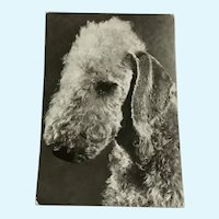 1960's Bedlington Terrier Photo Dog Postcard Erich Tylínek ( 1908 - 1991)