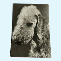 1960's Bedlington Terrier Photo Dog Postcard Erich Tylínek ( 1908 - 1991)