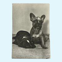 1960's French Bulldogs Photo Dog Postcard Erich Tylínek ( 1908 - 1991)