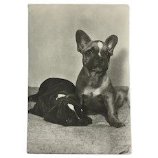 1960's French Bulldogs Photo Dog Postcard Erich Tylínek ( 1908 - 1991)