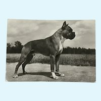 1960's Boxer Photo Dog Postcard Erich Tylínek ( 1908 - 1991)