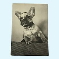 1960's  French Bulldog Photo Dog Postcard Erich Tylínek ( 1908 - 1991)