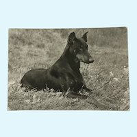 1960's Doberman Pinscher Photo Dog Postcard Erich Tylínek ( 1908 - 1991)