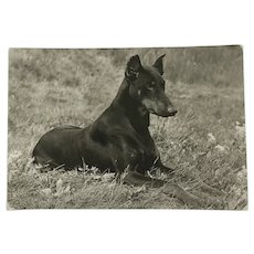 1960's Doberman Pinscher Photo Dog Postcard Erich Tylínek ( 1908 - 1991)